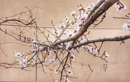 Ramas de florecimiento del albaricoque en primavera foto de archivo