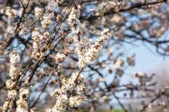 Ramas de florecimiento de ?rboles contra el cielo azul fotos de archivo