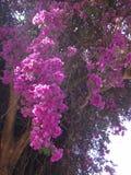 Ramas de la buganvilla Foto de archivo libre de regalías