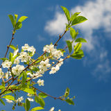 Ramas de la cereza floreciente Imágenes de archivo libres de regalías