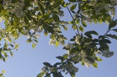 Ramas de la cereza floreciente contra el cielo Fotografía de archivo libre de regalías
