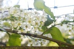 Ramas de la cereza floreciente contra el cielo Fotos de archivo libres de regalías