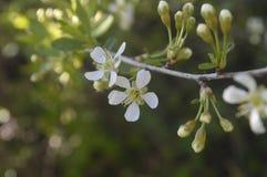 Ramas de la cereza floreciente contra el cielo Imagen de archivo libre de regalías