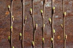 Ramas de la cereza de pájaro con los brotes abiertos contra la perspectiva de una superficie oxidada del hierro Imagen conceptua fotos de archivo libres de regalías