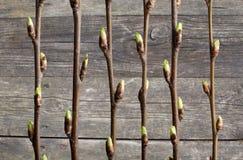Ramas de la cereza de p?jaro de la primavera con los brotes en el fondo de la pared de madera vieja Cuadro decorativo Imagen conc imagenes de archivo