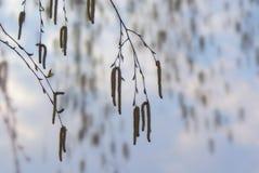 Ramas de la ejecución del abedul con amentos en el cielo del fondo en primavera Fotografía de archivo libre de regalías