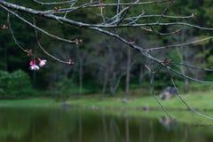 Ramas de la flor de cerezo Imagenes de archivo