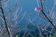 Ramas de la flor de cerezo Fotografía de archivo libre de regalías