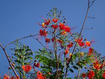 Ramas de la flor de pavo real Imagen de archivo libre de regalías