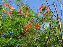 Ramas de la flor de pavo real Fotos de archivo libres de regalías