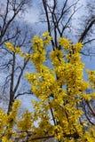 Ramas de la forsythia floreciente contra el cielo Imagenes de archivo