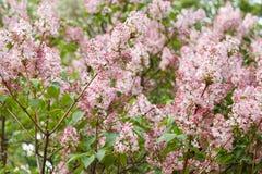 Ramas de la lila cubiertas con las flores rosadas Imágenes de archivo libres de regalías
