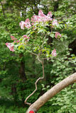 Ramas de la lila cubiertas con las flores rosadas Foto de archivo libre de regalías
