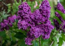 Ramas de la lila p?rpura oscura con las hojas verdes en mayo imagen de archivo