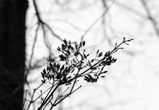 Ramas de la lila vieja en el otoño en blanco y negro Imagen de archivo libre de regalías