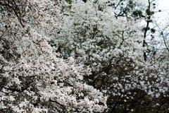 Ramas de la magnolia con las flores florecientes del blanco imágenes de archivo libres de regalías