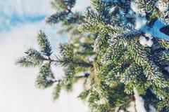 Ramas de la picea en helada y nieve Fondo del invierno Fotografía de archivo