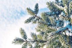 Ramas de la picea en helada y nieve Fondo del invierno Foto de archivo libre de regalías