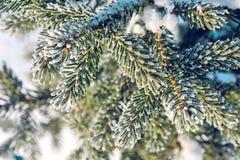 Ramas de la picea en helada y nieve Fondo del invierno Foto de archivo