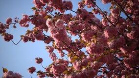 Ramas de las flores del rosa de Sakura Japanese Cherry Blossoms With Flores de la primavera de Sakura Cereza floreciente japonesa almacen de video