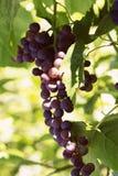 Ramas de las uvas que crecen en jardín Ciérrese encima de la vista de fresco Imágenes de archivo libres de regalías