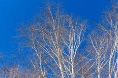 Ramas de los árboles de abedul Imágenes de archivo libres de regalías