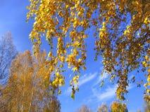 Ramas de los árboles del amarillo del otoño Fotos de archivo libres de regalías