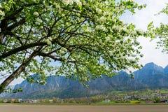Ramas de los árboles frutales con los flores blancos en primavera y montañas y pueblo de Zizers en el fondo imagen de archivo
