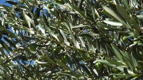 Ramas de olivo verdes que se sacuden en el viento almacen de video
