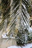 Ramas de palmera cubiertas con la nieve Atenas, Grecia, el 8 de enero de 2019 foto de archivo libre de regalías