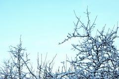Ramas de peral congeladas con escarcha mullida Fotografía de archivo libre de regalías