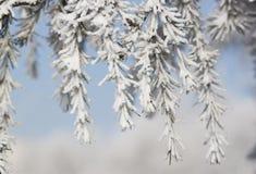 Ramas de árbol de abeto Fotografía de archivo libre de regalías