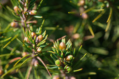 Ramas de árbol de abeto con los conos del pino Imágenes de archivo libres de regalías