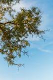 Ramas de árbol verdes de la hoja y de tamarindo Foto de archivo libre de regalías