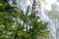 Ramas de un árbol de abeto en un bosque Fotos de archivo libres de regalías