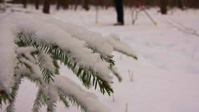 Ramas de un árbol de abeto en el bosque del invierno y un esquiador metrajes