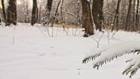 Ramas de un árbol de abeto en el bosque del invierno y un esquiador almacen de video