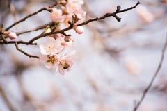 Ramas de un árbol de almendra de florecimiento Imágenes de archivo libres de regalías