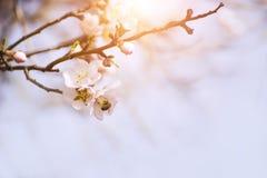 Ramas de un árbol de almendra de florecimiento Imagenes de archivo
