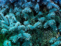 Ramas de un árbol conífero el olor de la Navidad Imagenes de archivo