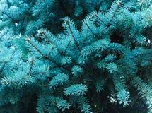 Ramas de un árbol conífero el olor de la Navidad Imagen de archivo libre de regalías