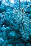 Ramas de un árbol conífero el olor de la Navidad Foto de archivo libre de regalías