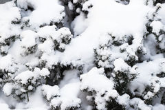 Ramas de un árbol de navidad cubierto con la picea natural de la nieve después de nevadas en el parque, fondo del invierno, Año N Fotos de archivo libres de regalías