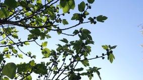 Ramas de un árbol de un higo con las frutas verdes en un fondo del cielo azul 4k, c?mara lenta almacen de metraje de vídeo