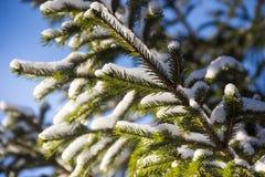 Ramas de un árbol de navidad cubierto con el fondo spruce natural del invierno de la nieve Rusia Fotos de archivo