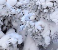 Ramas de un árbol de navidad cubierto con la picea natural af de la nieve Fotos de archivo libres de regalías