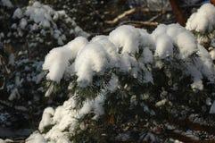 Ramas de un árbol de navidad cubierto con la picea natural af de la nieve Imagen de archivo libre de regalías