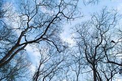 Ramas de un árbol sin las hojas en primavera en el cielo azul Imagen de archivo