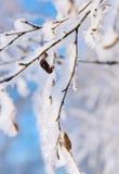 Ramas de un abedul con la nieve y la escarcha brillantes blancas Imagenes de archivo