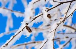 Ramas de un abedul con la nieve y la escarcha brillantes blancas Foto de archivo libre de regalías